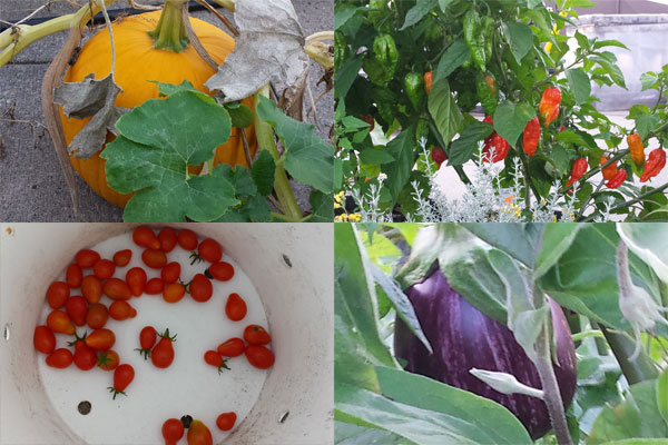 The Sky Garden produces tomatoes, squash, pumpkins, chilli peppers, eggplant and lots more.