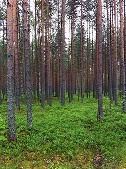 A pine forest in Finland. Professor Emma Master (ChemE) is collaborating with researchers around the world (including at Aalto University in Helsinki) to create new materials from trees that could replace fossil fuel-derived substances in everyday products, from adhesives to food packaging. (Photo: Emma Master)