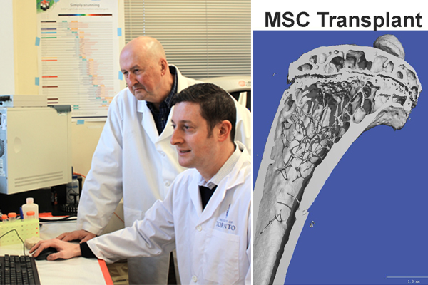 Left: Professor John Davies with Dr. Jeff Kiernan (Photo: Luke Ng). Right: After a single MSC transplant, the leg bone of this previously osteoporotic mouse shows a restoration of the normal internal structure. (Courtesy: Dr. Jeff Kiernan).
